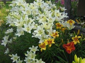 3 Лилия Белая - азиатский гибрид