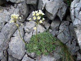 Saxifraga paniculata 'Ria'