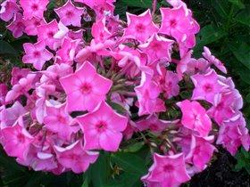 Флокс розовый ранний, цветет с начала июля