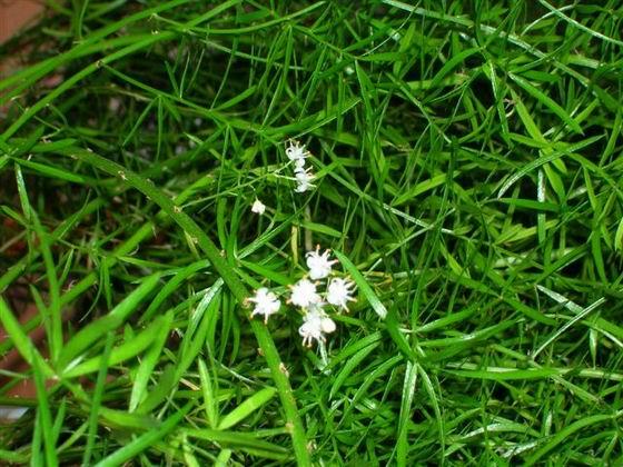 Комнатные растения аспарагус