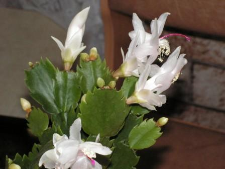 Декабрист, шлюмбергера, рождественский кактус