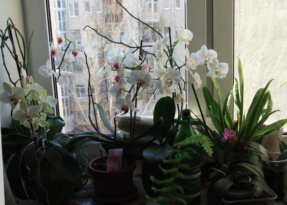 Что делать с корнями орхидеи которые вылезли из горшка