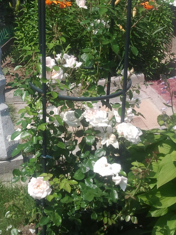 Плетистая роза нью даун 6