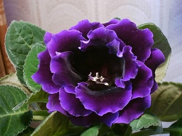 теста определение глоксиния махровая фиолетовая сорта тысяч
