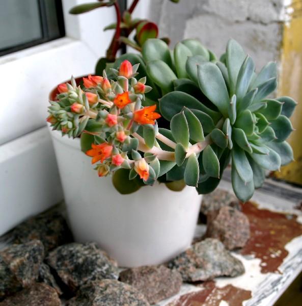 Цветок каменная роза уход в домашних условиях размножение