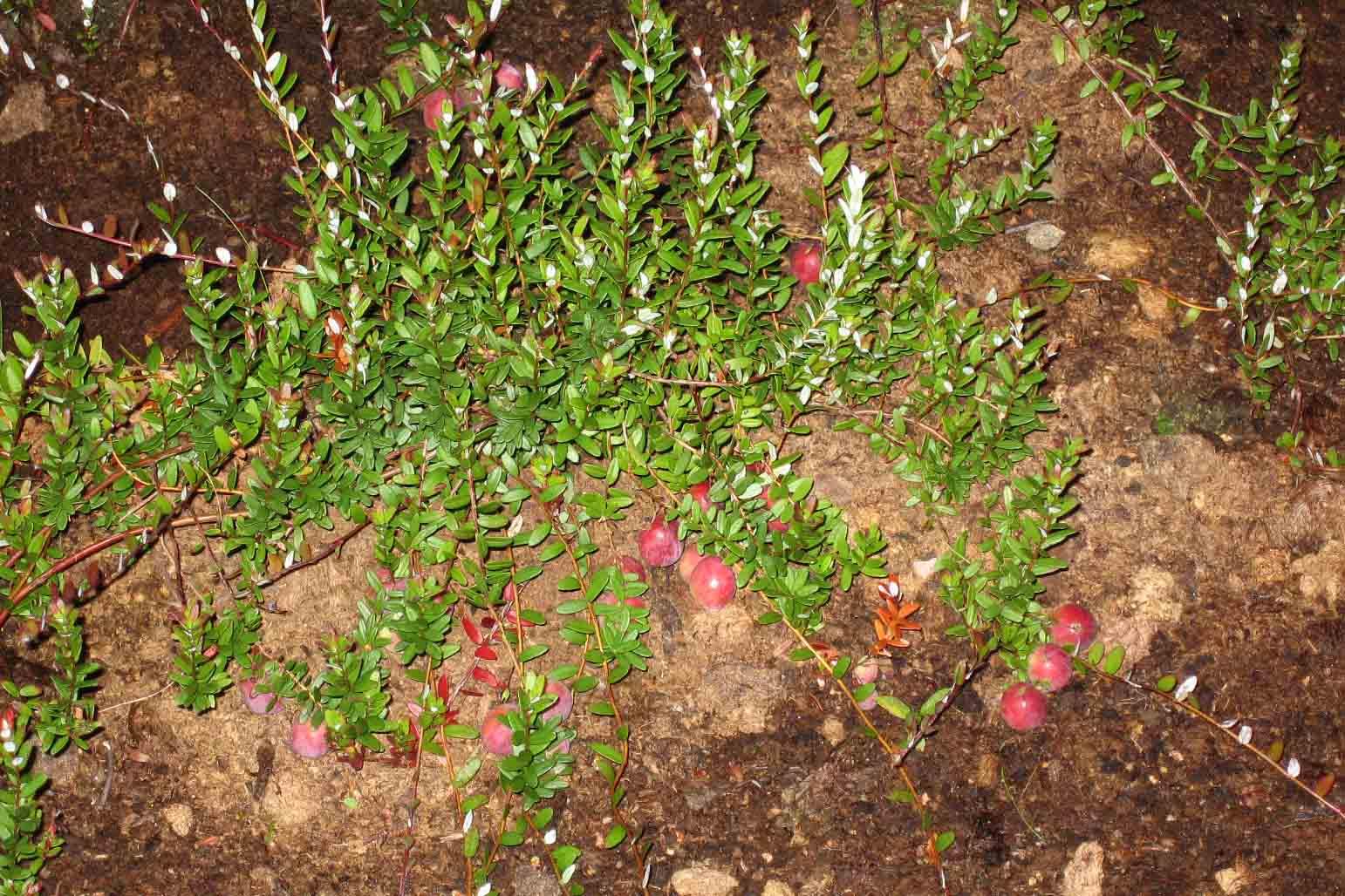 Клюква: сорта, выращивание и уход 3