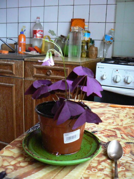 Кислица оксалис  фото обыкновенной клубненосной