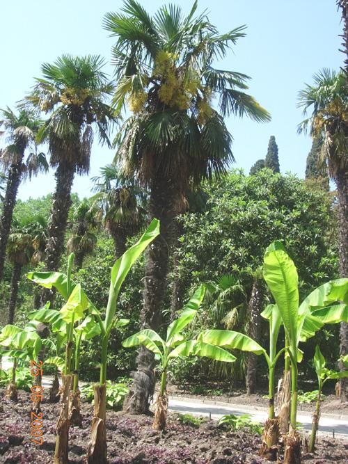 пальма с бананами