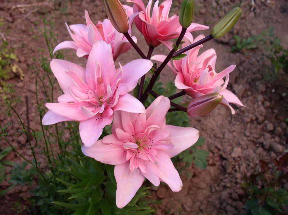 Фото цветов лилии махровые