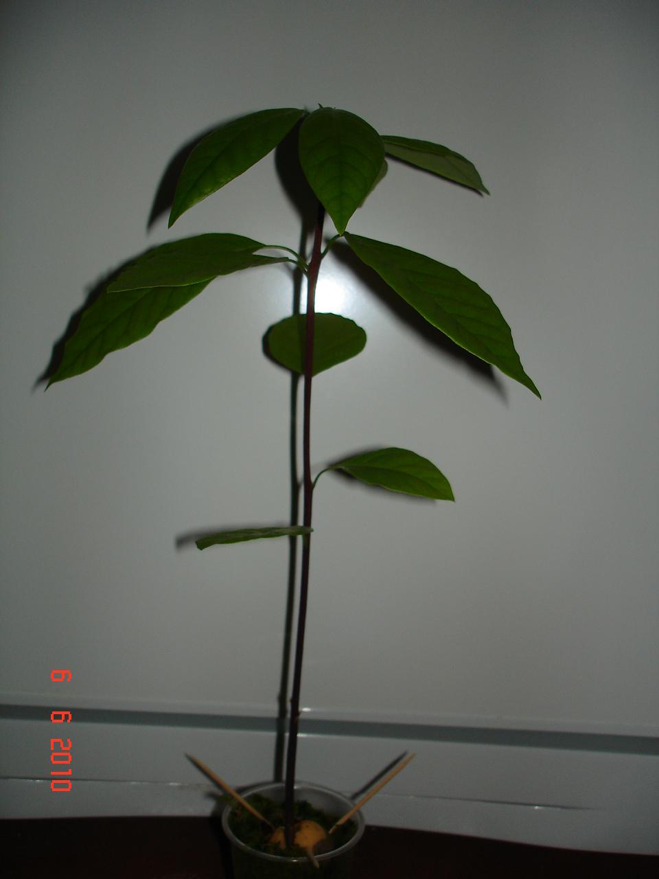 Авокадо в горшке: выращивание и уход в домашних условиях 75