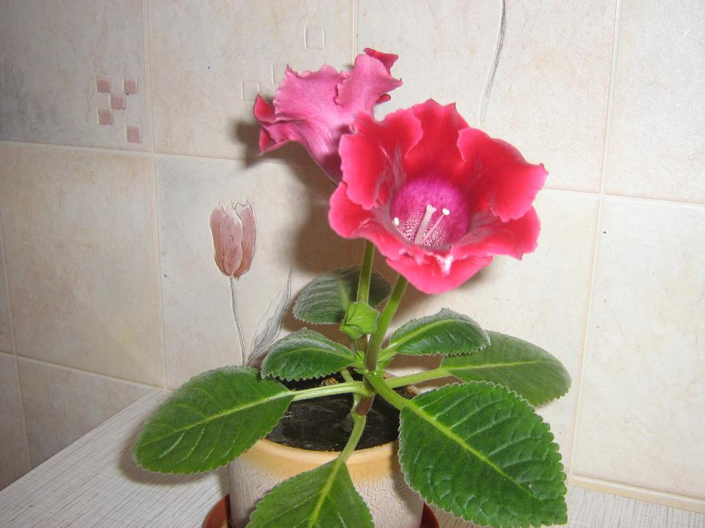 Комнатный цветок розовый