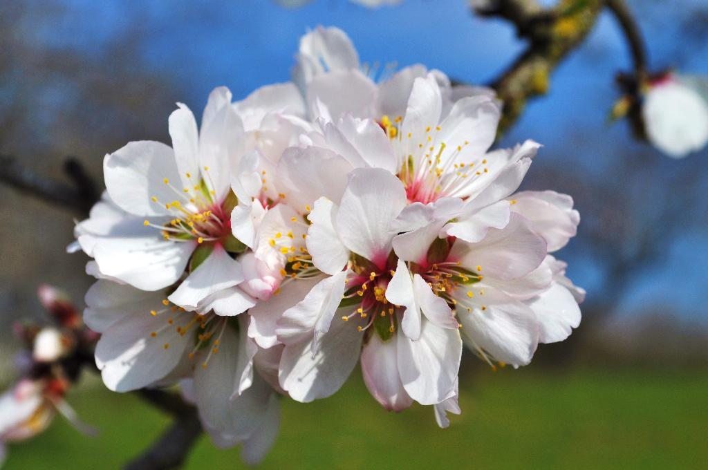 абрикос цветы фото