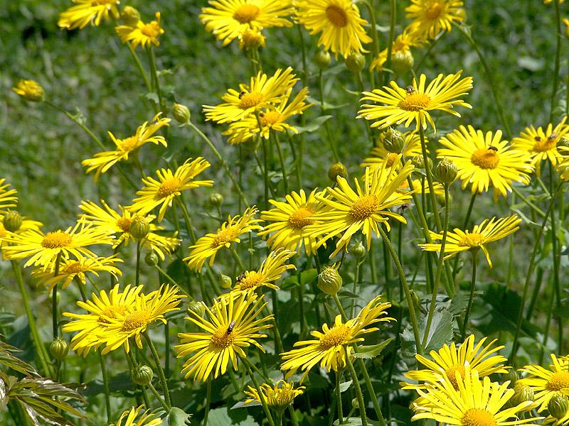 Многолетники с желтыми цветами