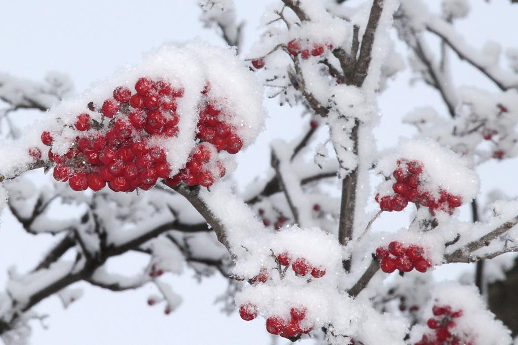 Рябина в снегу фото 553-565