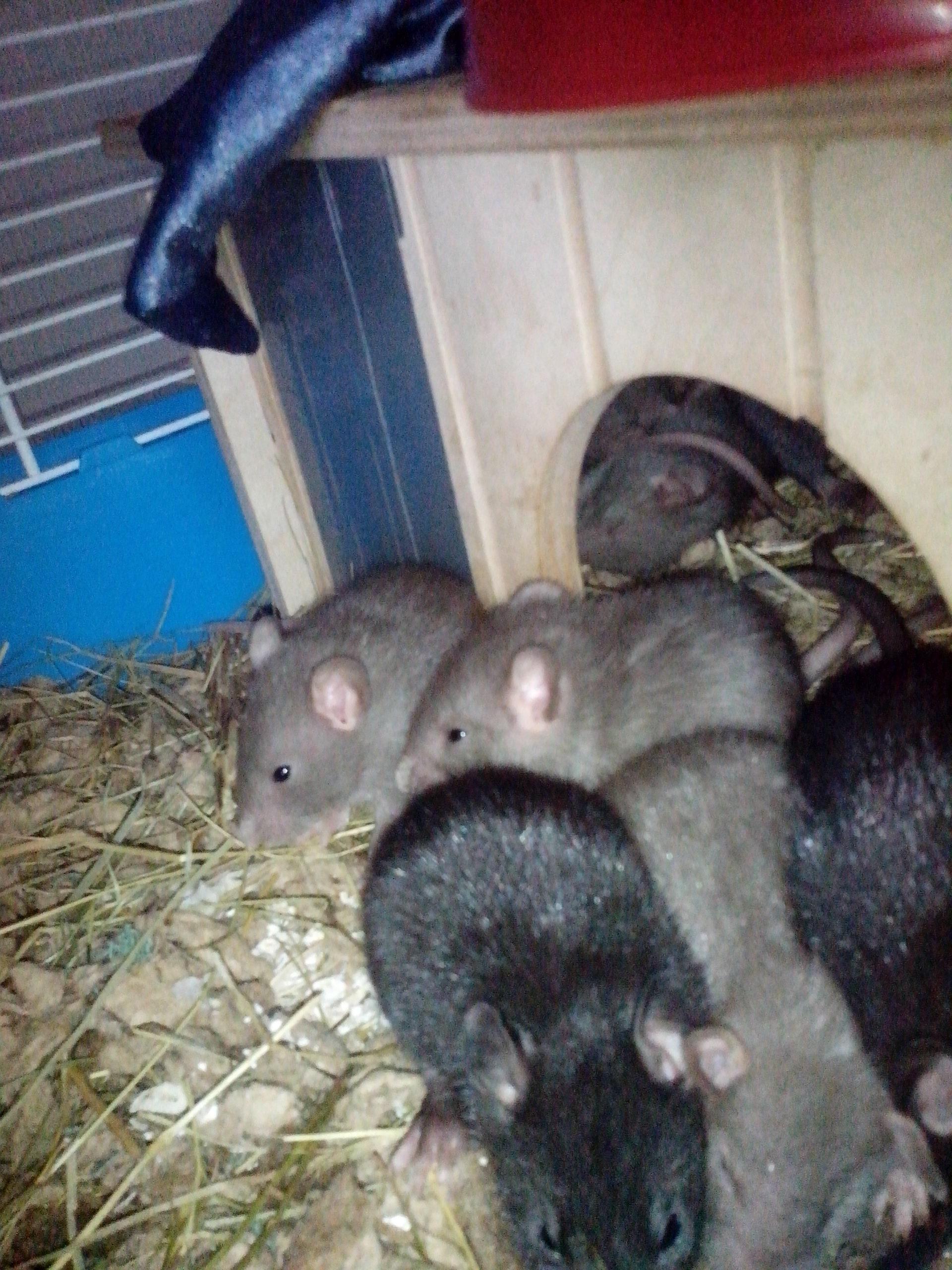 Декоративные крысы, описание, разновидности, уход, содержание 92