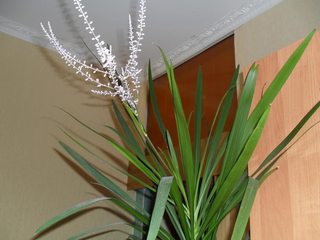 Пальмы и драцены в домашних условиях 952