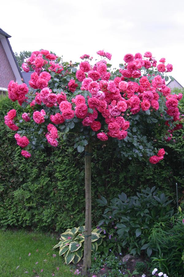 Купить розы в тимирязевском питомнике живые цветы на стену фото