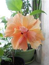 Гибискус персиковый махровый