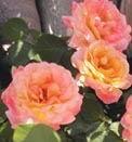 Moskin Bird Rose