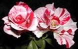 Еще одна роза