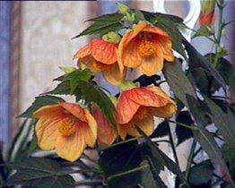абутилон оранжевый