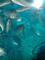 Рыбо-куча-мала