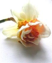 Daffodil, Replete