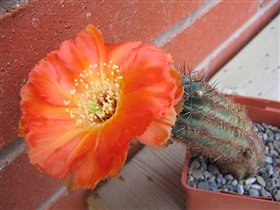 Цветущий красавец