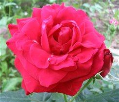 Роза. Соцветие