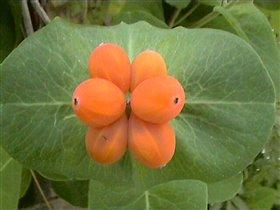 Жимолость каприфоль (лиана) декоративная
