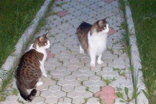 Кошки 2 штуки