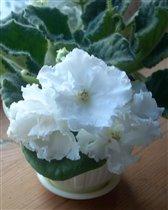 сенполия белая с крупными цветами
