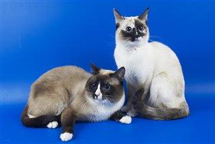 Папа и мама котят
