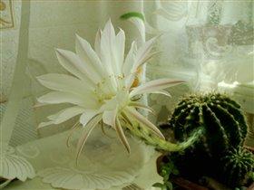 нежность кактуса