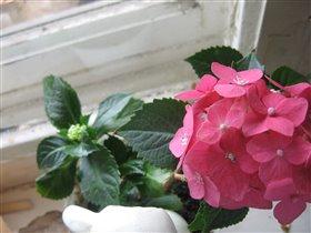 гортензия цветет