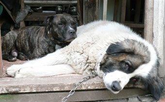 Мои собаки!Нельсон и Ника!
