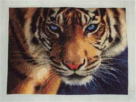 Голубоглазый тигр от КК