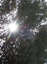 Солнце светит... Сосна иерусалимская благоухает...