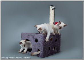 котята балинезы и когтеточка
