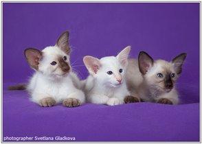 на фото котята балинезы разных окрасов