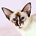 Восточные кошки: интеллект + грация и сила