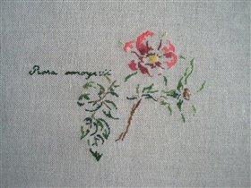 Rose moyesii