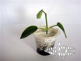 Hoya affinis