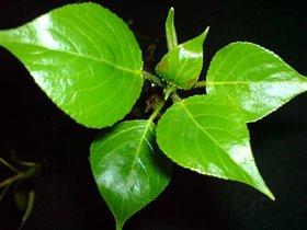 Первая нежная весенняя листва