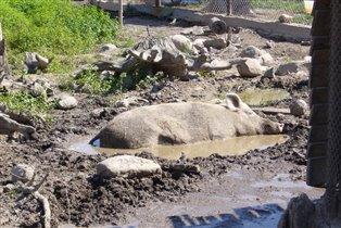 Чтоб толстой свинкой стать,надо много есть и спать