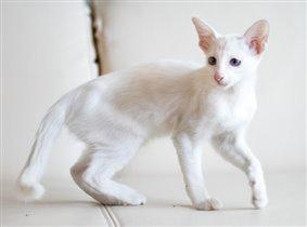 Белая балийская кошка Жасмин