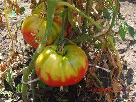 странные помидоры - не краснеют!