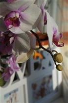 Мои любимые орхидеи..