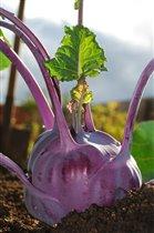 во саду ли, в огороде...выросла капуста :)