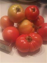 томаты открытый грунт 2016